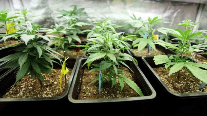 grow weed at home